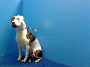 CHINA is an adoptable Pit Bull Terrier Dog in Brooklyn, NY.  ...