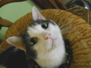 Adoptable Fridays: Meet Wilber! Wilber is a Gray and White Domestic Short Hair in New Orleans, LA. To find out more about Wilber, click here! #pets #animals #cats