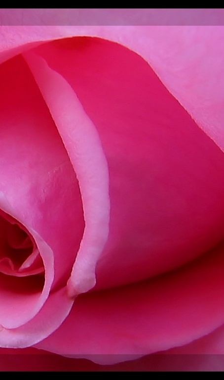 The Pink Rose #flowers #pink
