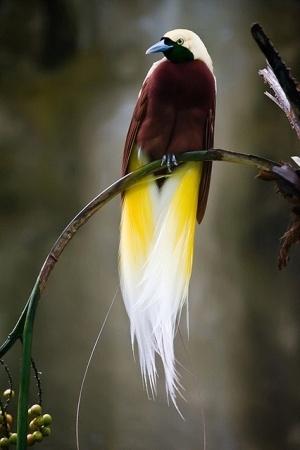 Raggiana bird of paradise by janice