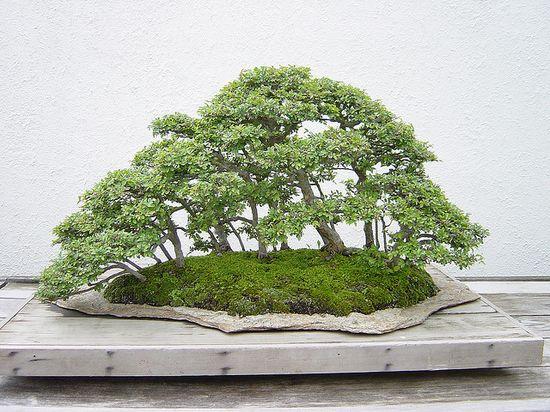 Bonsai 2003 5