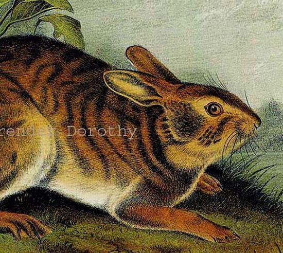 Swamp Hare Audubon Wild Animal Natural History Lithograph Print