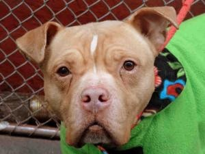 KING ARTHUR is an adoptable Pit Bull Terrier Dog in New York, NY. A volunteer writes: King Arthur is a beautiful name for this noble, gentle and well behaved senior. He was sleeping when I reached his...