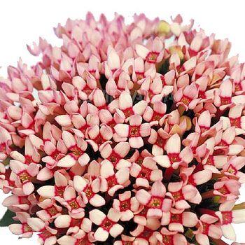 Bouvardia Flowers on Les Fleurs   Las Flores    Flowers
