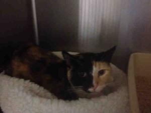 SAGE is an adoptable Domestic Short Hair Cat in Alameda, CA.  ...