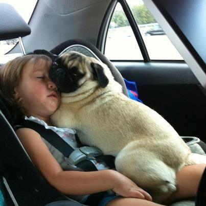 Pug sleeps on little girl in the car