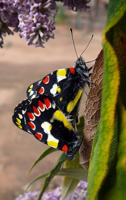 **Red-spotted Jezebel (Delias aganippe)