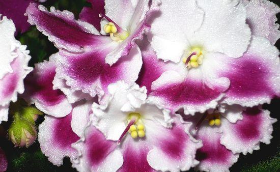 """beautiful flower """"Cape violet"""""""