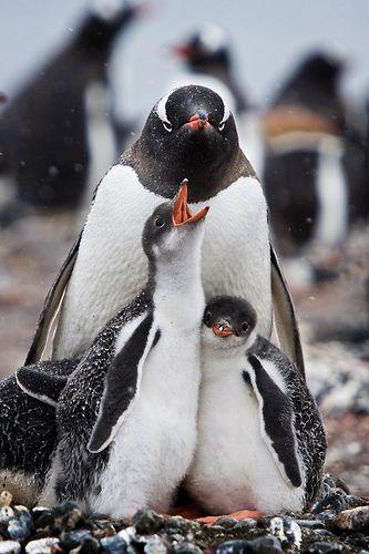 demanding penguin chick