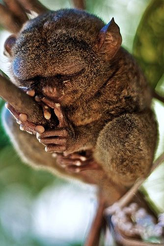See a Tarsier up close
