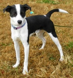Dallas is an adoptable Terrier Dog in Lincolnton, NC. At Lincoln County Animal Services, there is an $85 dollar adoption fee. This fee covers the following services for your pet: * Spay or Neuter * Wo...