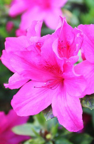 Azaleas are in bloom