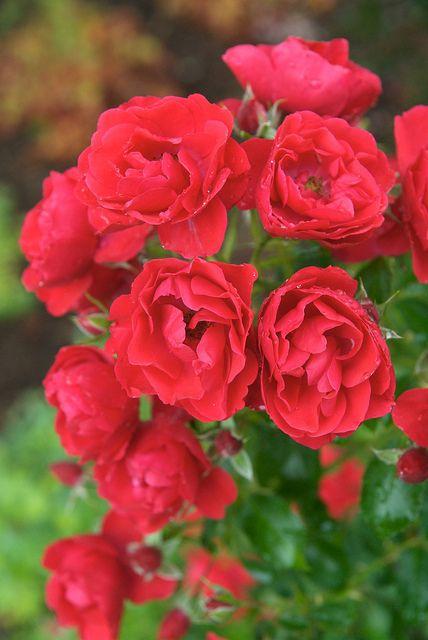 Flower Carpet Next Generation roses (Scarlet) (vertical)