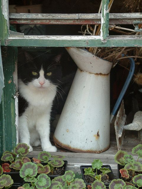 CAT IN WINDOW    A Rose kitty again!