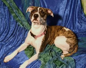 Tiger Lilly is an adoptable Pit Bull Terrier Dog in Oswego, NY. Tiger Lilly is a one year old pit mix. She loves people and is a shoe in for agility. She just loves it and does so well in her class. F...