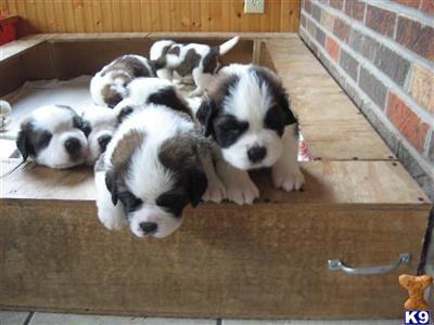 saint bernard puppies!!