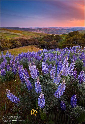 Wild lupines, the Columbia Gorge, Washington State