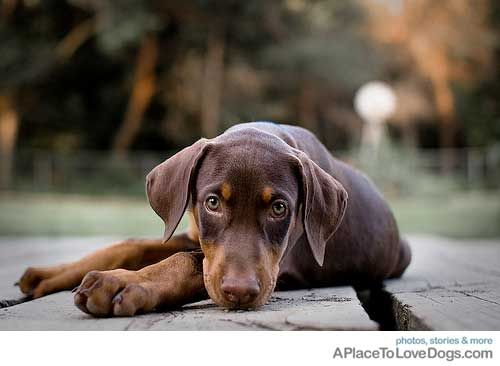 resting for a moment • from  APlaceToLoveDogs.... • dog dogs puppy puppies cute doggy doggies adorable funny fun silly photography