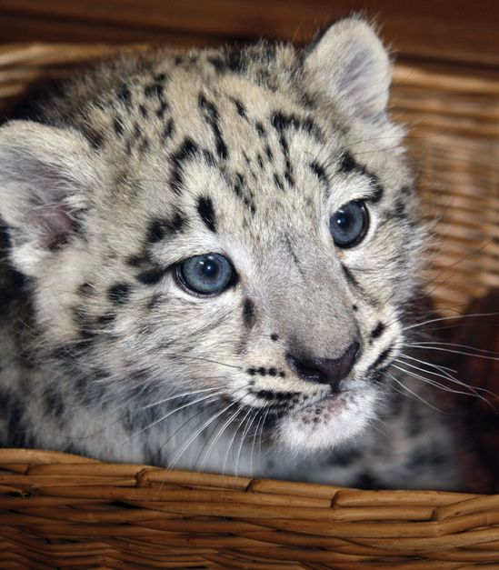 Snow Leopard Cubs!     #cute #baby #animals