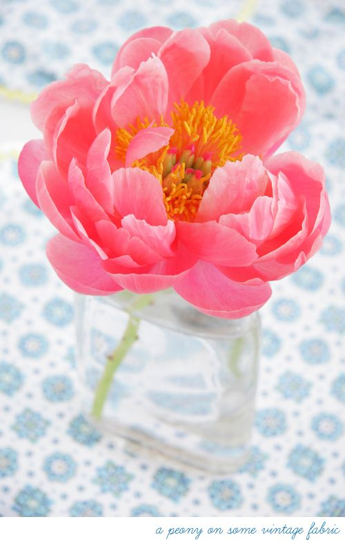 gorgeous coral peony.