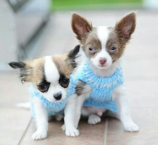puppies in sweaters!