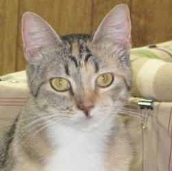 Bambi is an #adoptable #Calico #Cat in #Gonzales, #TEXAS. Bambi, or as we often call her: Bam Bam, is a very fun companion. She is only 18 months old and has a playful, somewhat dominant, personality. Bam ...