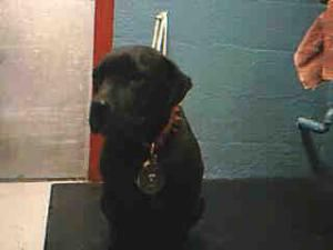#CALIFORNIA ~ ID A4541691 #URGENT LANCASTER SHELTER is an #adoptable Black #LabradorRetriever #Dog in Lancaster, CA. **WE NEED #DEDICATED #VOLUNTEERS TO POST & REMOVE #PETS ON PETFINDER.  ~~~   Lancaster Animal Care Center.   5210 W. Ave. I Lancaster, CA 93536   (661) 940-4191.   Hours: Monday – Thursday: 12:00 PM – 7:00 PM  Friday, Saturday, and Sunday: 10:00 AM – 5:00 PM  Closed Holidays