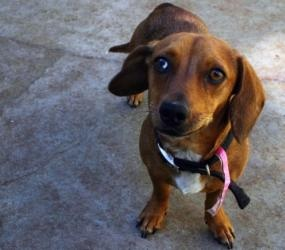 garbo is an #adoptable Dachshund Dog in #LosAngeles, #CALIFORNIA. garbo is amazing with one slightly blue eye. she is so sweet and she came in with her best friend patty. they were living with a homeless man wh...