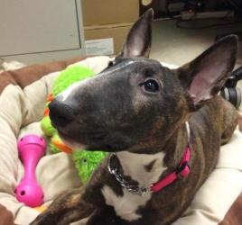 Sweet Georgia is an #adoptable Bull Terrier Dog in #VancouverBC. Sweet Georgia Brown has a guardian angel on her shoulder after she was found abandoned in a parking lot. This little egghead is so deli...