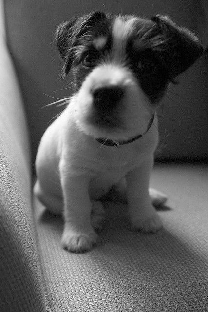 Jack Russell pup >> Adorable!