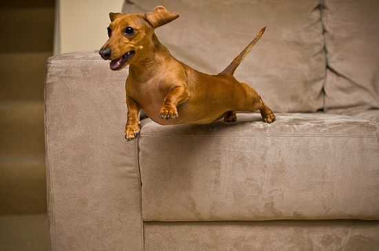 Super Doxie