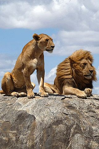Lions are my favorite wild animals because they are very smart, sneaky, and they are the king of the jungle