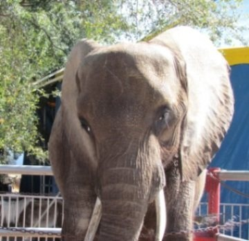 """HELP!!!!!!  SPEAK UP FOR A SICK ELEPHANT NAMED NOSEY!  The USDA even filed a formal complaint against her owner, Hugo """"Tommy"""" Liebel. He faces close to 3 dozen charges of violating the Animal Welfare Act!  HELP PUT THIS SCUM BAG OUT OF BUSINESS!  UniverSoul Circus is currently on tour & plans to feature Nosey in Florida February 22-27. Urge UniverSoul to cancel these shows & disassociate itself from this brutal animal cruelty!  PLZ Sign & Share!"""
