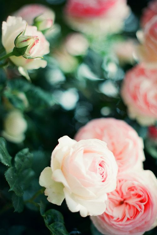 ...Peonies remind me of my childhood