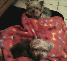 Harley & Louis is an adoptable Yorkshire Terrier Yorkie Dog in Crompond, NY. Harley & Louis are a bonded pair of Yorkshire Terrier boys who must be adopted together. They're an awesome pair who are v...