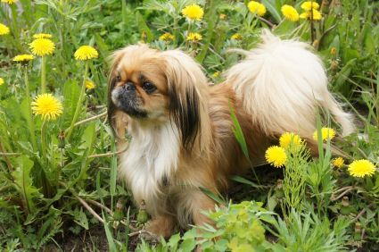 Fun Physical Exercise for your Peke! #exercise #physical exercise #Workout Exercises #Workout