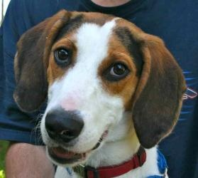 Wayne is an adoptable Treeing Walker Coonhound Dog in Chipley, FL. Wayne is a 1 to 2 year old male Tree Walking Coonhound cross, about 35 pounds. He is a very friendly, well socialized boy, energetic ...