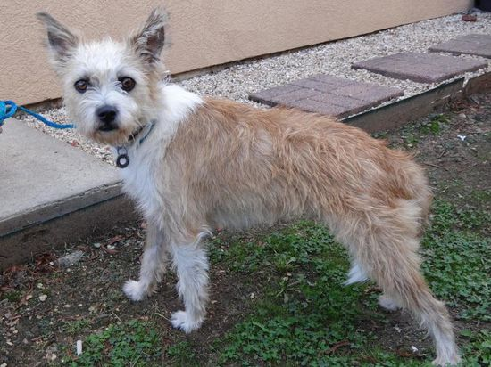 No longer available - Wirehaired Terrier mix - Charleston, AR. 1 yr old.