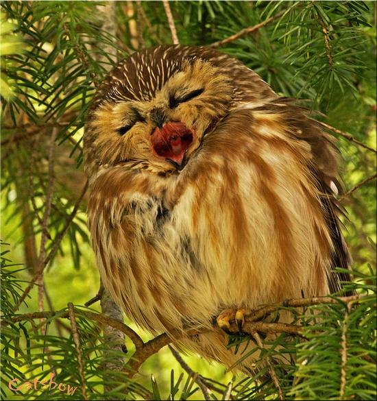 Big Yawn (Saw Whet Owl)