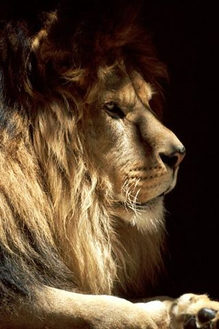 Mighty Lion ~ Lions of Africa and India are the second largest of the big cats, next to the tiger.