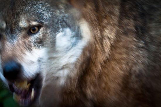 Wolf - Nature Photos - Photo Art Prints - Wildlife Photography - Woodland Animals - Wild Animals -  Fine Art Photography - Nature Wall Art