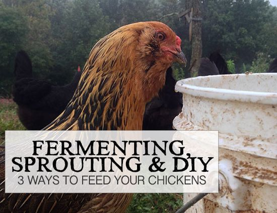 Fermenting, Sprouting & DIY: 3 Ways to Feed Your Chickens - Girl Meets Nourishment