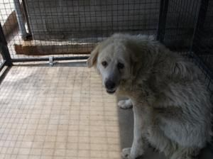 SHELTER IS FULL YETI IS DESPERATE FOR A HOME OR RESCUE. Yeti is an adoptable adult female Great Pyrenees Dog in Lewisburg, TN. By TN state law stray dogs are held for 3 days so they can be found by their owners before being put up for adoption.