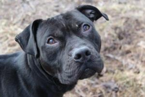 DOGGIE is an adoptable Pit Bull Terrier Dog in Staten Island, NY.  ...