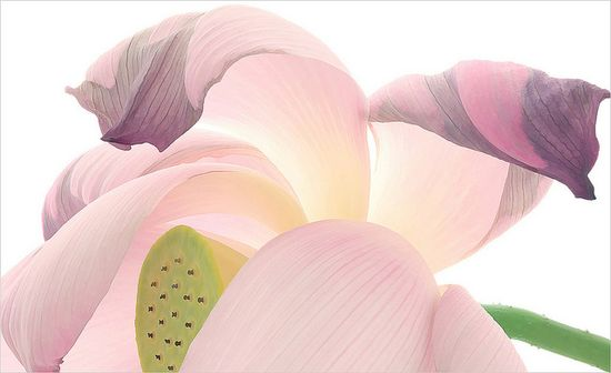 Lotus flower in macro.....delicate