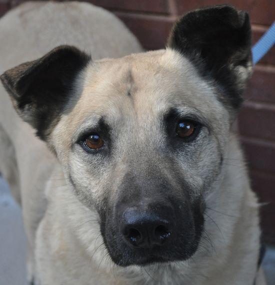 Bert German Shepherd Dog & Belgian Shepherd Malinois Mix • Adult • Male • Large Orphan Annie Rescue Atlanta, GA  3 yrs old www.petfinder.com...