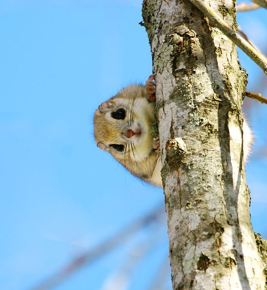 Japanese Dwarf Flying Squirrel