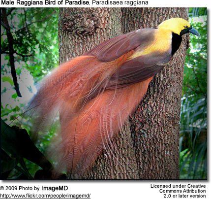 Raggiana Bird of Paradise or Count Raggi's Bird of Paradise