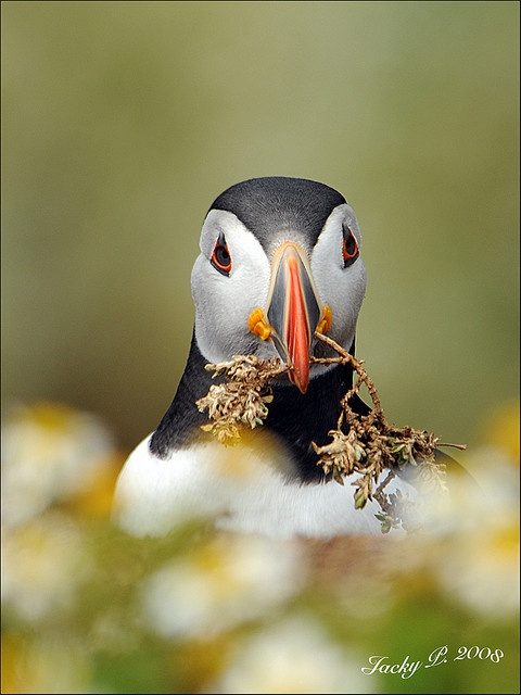 Puffin Nest Building by Jacky Parker