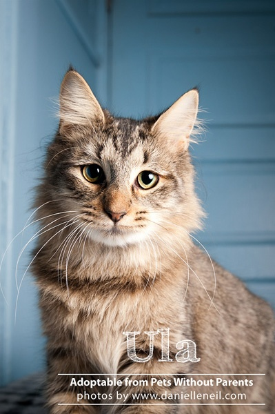 Beautiful Ula is adoptable from www.petswithoutpa... in Columbus, Ohio. #rescue #shelter #adopt #cat